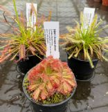 Cl31 Drosera collection 3